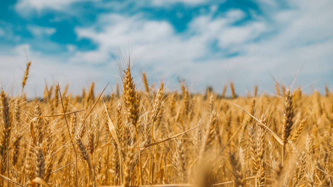 Climate change is putting the world's vital wheat crops at risk