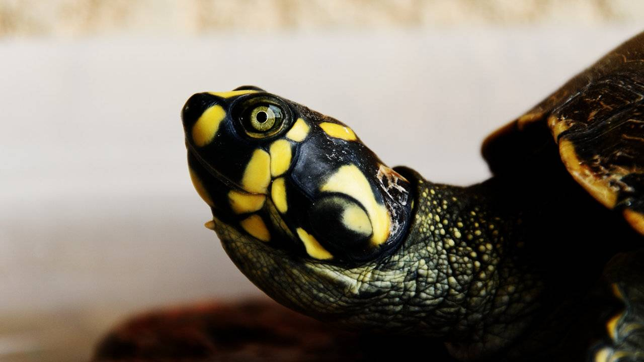 CDC warns against kissing and snuggling turtles over salmonella risk