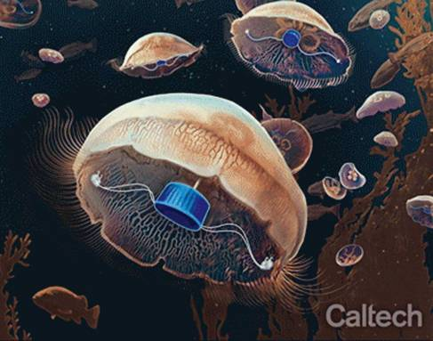 Engineers create a prosthetic device that helps jellyfish swim faster