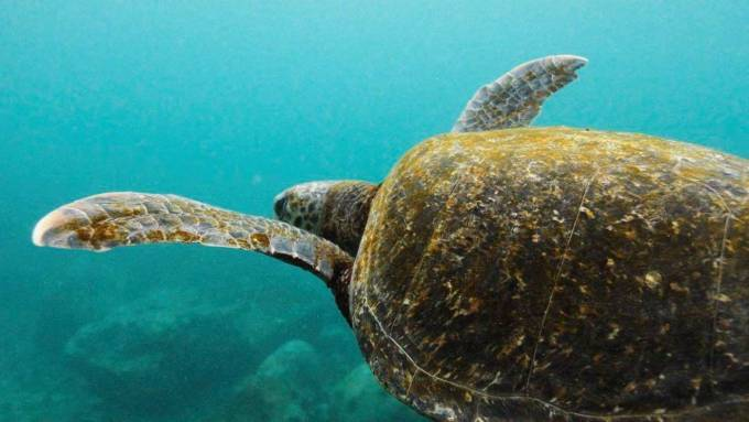 New research sheds light on why sea turtles eat plastic